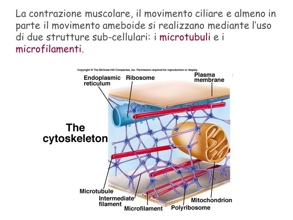 La contrazione muscolare, il movimento ciliare e almeno in parte il movimento ameboide si realizzano mediante luso di due strutture sub-cellulari: i m
