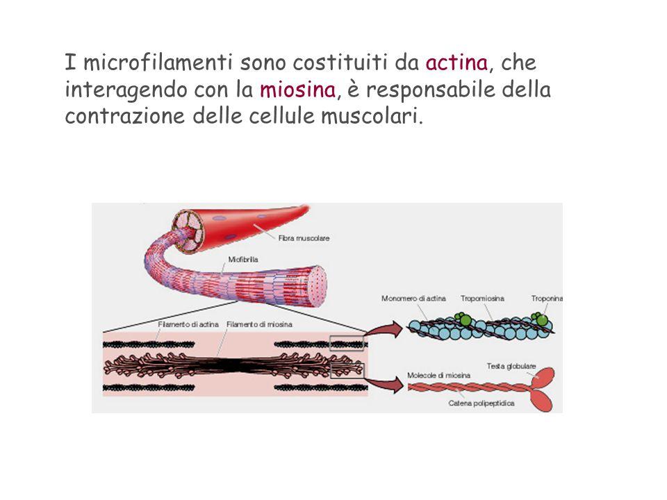 Anche il movimento ameboide, tipico di certi Protozoi, è dovuto allattività di microfilamenti di actina che interagiscono con altre molecole proteiche.