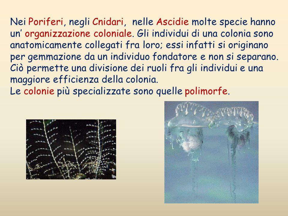 Nei Poriferi, negli Cnidari, nelle Ascidie molte specie hanno un organizzazione coloniale. Gli individui di una colonia sono anatomicamente collegati
