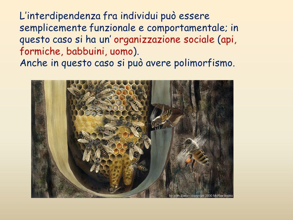 Linterdipendenza fra individui può essere semplicemente funzionale e comportamentale; in questo caso si ha un organizzazione sociale (api, formiche, b