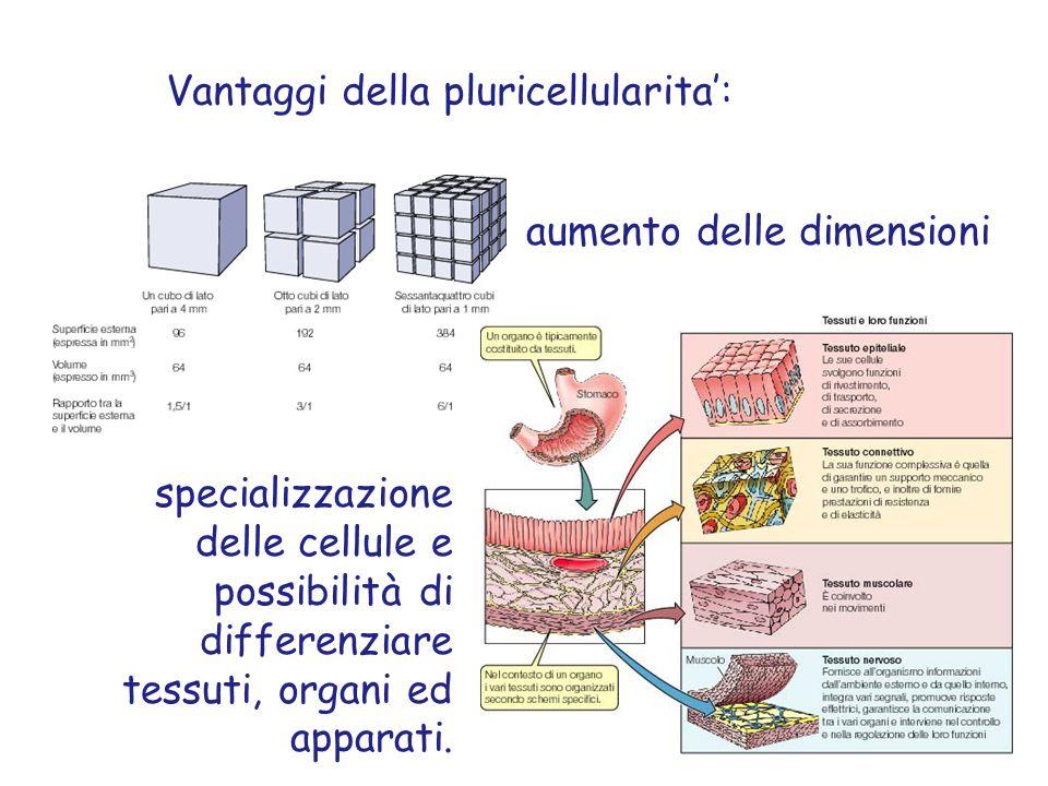 Vantaggi della pluricellularita: aumento delle dimensioni specializzazione delle cellule e possibilità di differenziare tessuti, organi ed apparati.