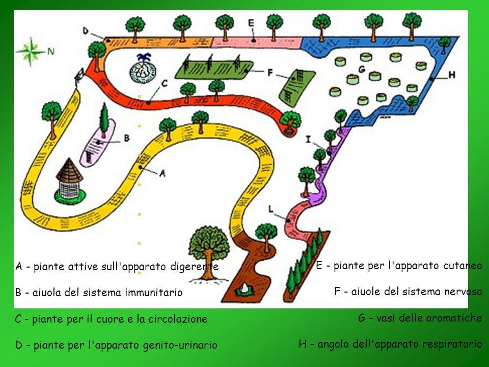 A - piante attive sull'apparato digerente B - aiuola del sistema immunitario C - piante per il cuore e la circolazione D - piante per l'apparato genit