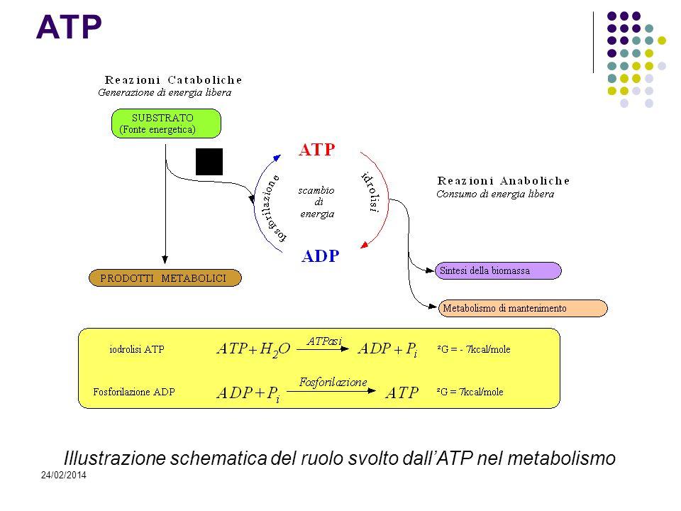 24/02/2014 ATP Illustrazione schematica del ruolo svolto dallATP nel metabolismo