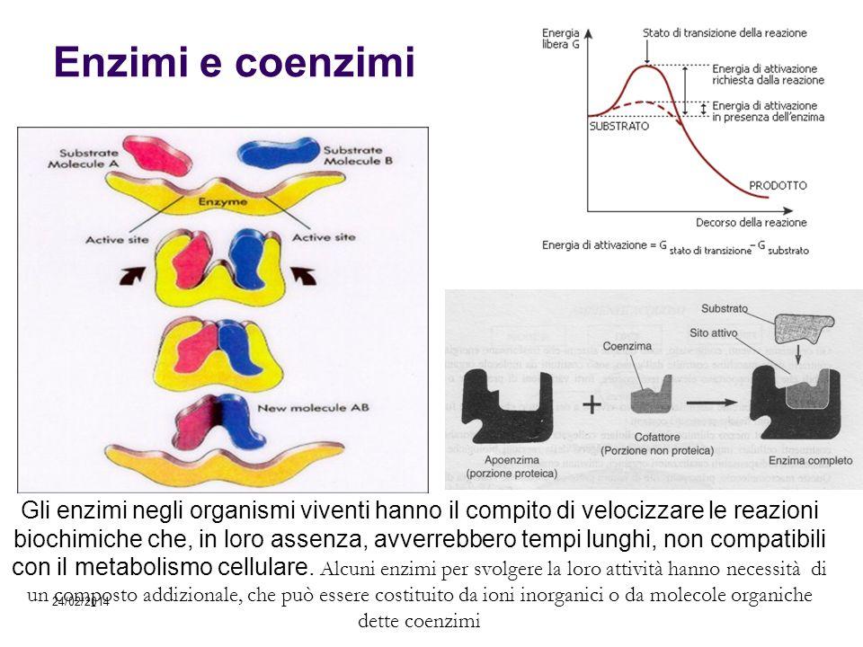 24/02/2014 Enzimi e coenzimi Gli enzimi negli organismi viventi hanno il compito di velocizzare le reazioni biochimiche che, in loro assenza, avverreb