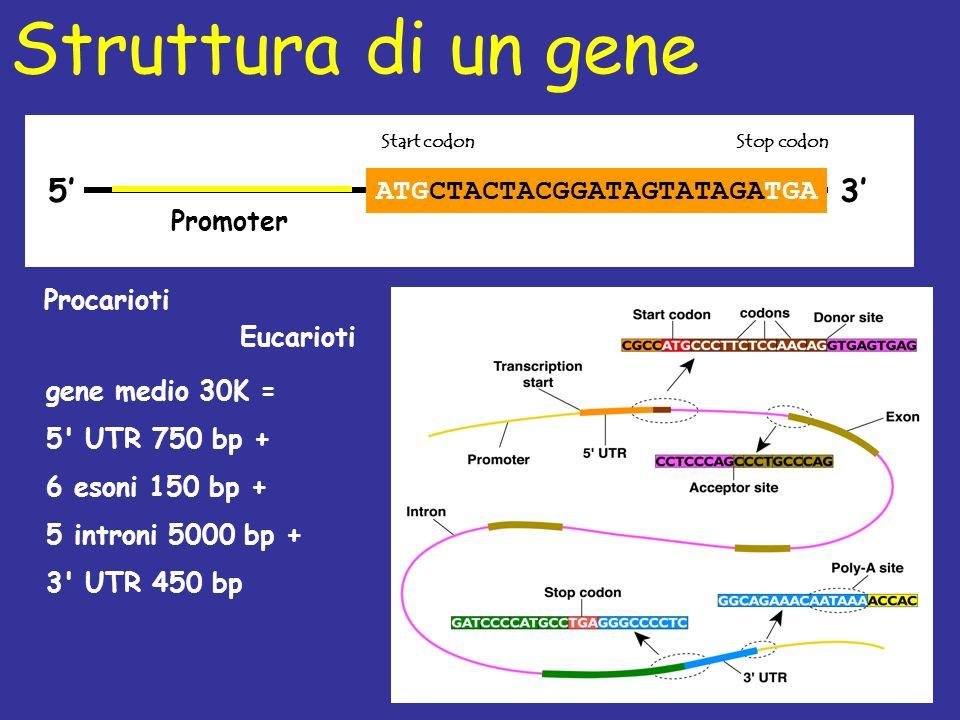 ATGCTACTACGGATAGTATAGATGA 53 Promoter Start codon Struttura di un gene Stop codon Procarioti Eucarioti gene medio 30K = 5 UTR 750 bp + 6 esoni 150 bp + 5 introni 5000 bp + 3 UTR 450 bp