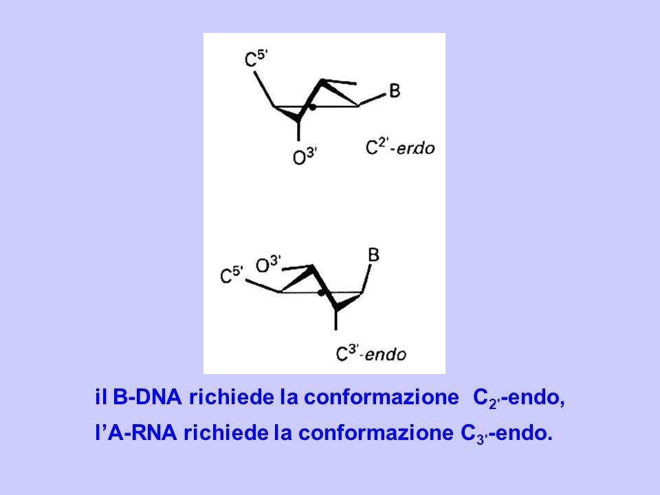 il B-DNA richiede la conformazione C 2 -endo, lA-RNA richiede la conformazione C 3 -endo.