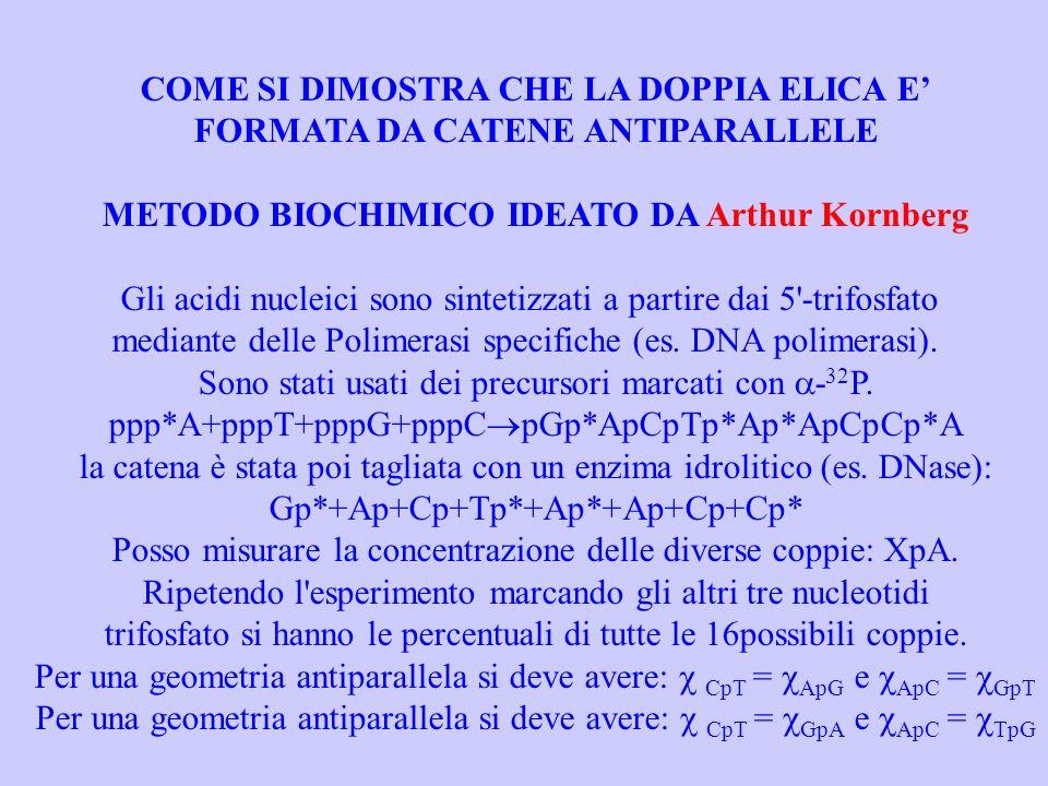 COME SI DIMOSTRA CHE LA DOPPIA ELICA E FORMATA DA CATENE ANTIPARALLELE METODO BIOCHIMICO IDEATO DA Arthur Kornberg Gli acidi nucleici sono sintetizzati a partire dai 5 -trifosfato mediante delle Polimerasi specifiche (es.