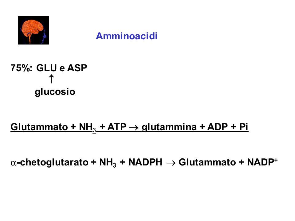 Amminoacidi 75%: GLU e ASP glucosio Glutammato + NH 3 + ATP glutammina + ADP + Pi -chetoglutarato + NH 3 + NADPH Glutammato + NADP +