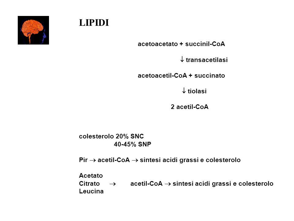 LIPIDI acetoacetato + succinil-CoA transacetilasi acetoacetil-CoA + succinato tiolasi 2 acetil-CoA colesterolo 20% SNC 40-45% SNP Pir acetil-CoA sinte