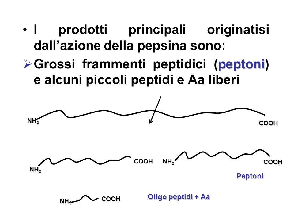 I prodotti principali originatisi dallazione della pepsina sono: peptoni Grossi frammenti peptidici (peptoni) e alcuni piccoli peptidi e Aa liberi NH