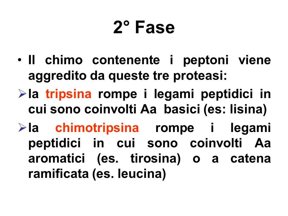 2° Fase Il chimo contenente i peptoni viene aggredito da queste tre proteasi: la tripsina rompe i legami peptidici in cui sono coinvolti Aa basici (es