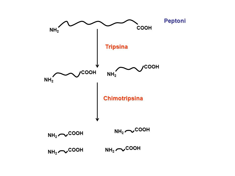 NH 2 COOHPeptoni Tripsina COOH COOH COOH COOH COOH COOH Chimotripsina