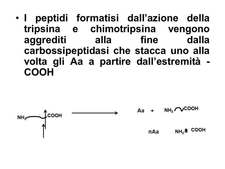 I peptidi formatisi dallazione della tripsina e chimotripsina vengono aggrediti alla fine dalla carbossipeptidasi che stacca uno alla volta gli Aa a p