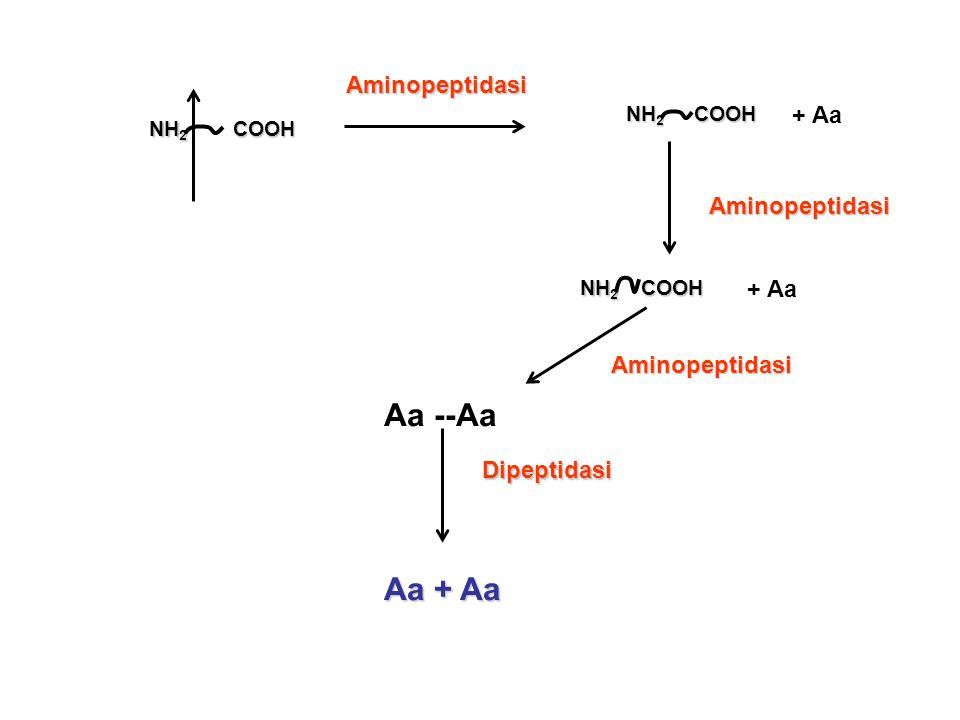 NH 2 COOH COOH + Aa NH 2 COOH + Aa Aa --AaDipeptidasi Aa + Aa Aminopeptidasi Aminopeptidasi Aminopeptidasi