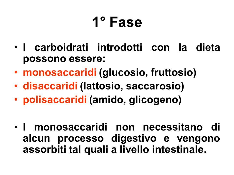1° Fase I carboidrati introdotti con la dieta possono essere: monosaccaridi (glucosio, fruttosio) disaccaridi (lattosio, saccarosio) polisaccaridi (am