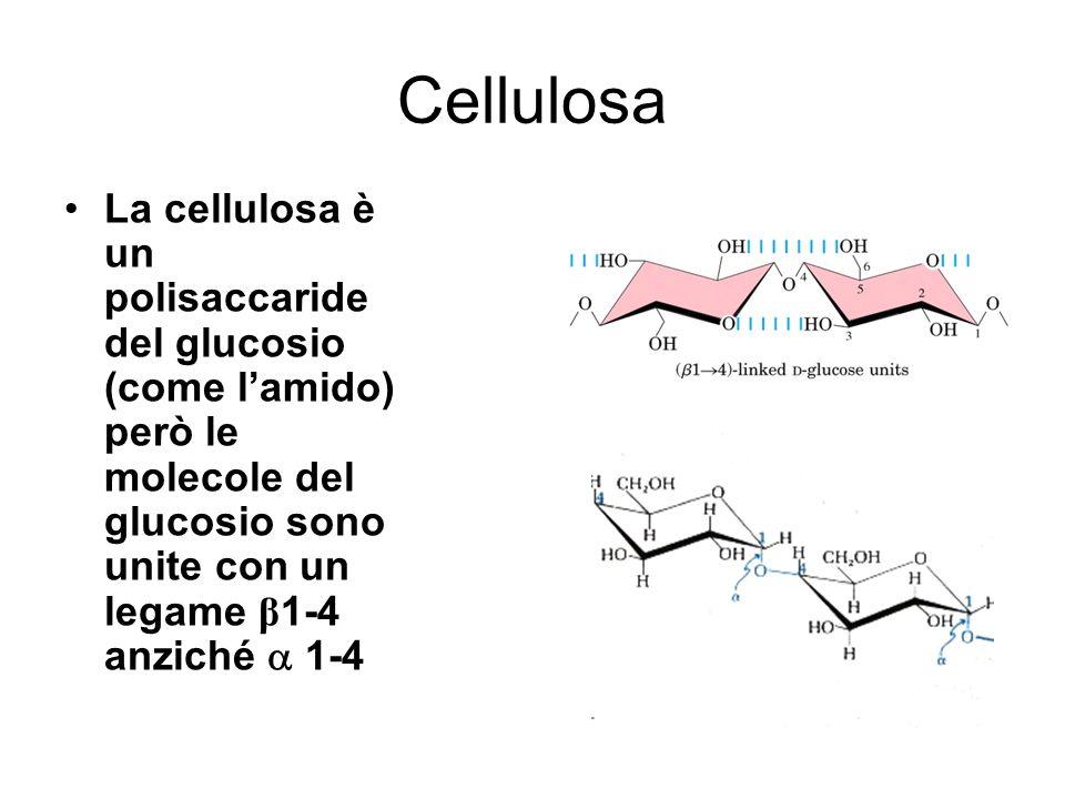 Cellulosa La cellulosa è un polisaccaride del glucosio (come lamido) però le molecole del glucosio sono unite con un legame β 1-4 anziché 1-4