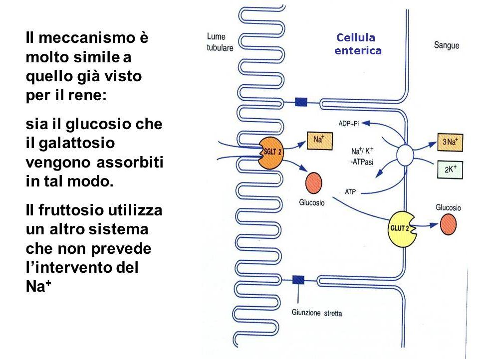 Il meccanismo è molto simile a quello già visto per il rene: sia il glucosio che il galattosio vengono assorbiti in tal modo. Il fruttosio utilizza un