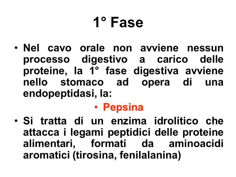 1° Fase Nel cavo orale non avviene nessun processo digestivo a carico delle proteine, la 1° fase digestiva avviene nello stomaco ad opera di una endop