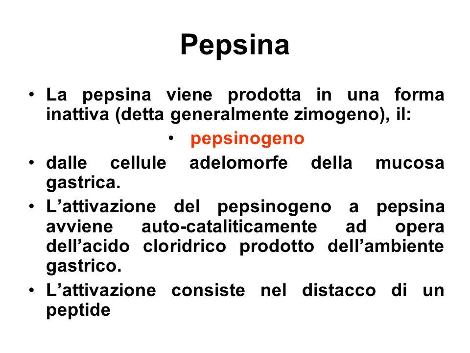 Pepsina La pepsina viene prodotta in una forma inattiva (detta generalmente zimogeno), il: pepsinogeno dalle cellule adelomorfe della mucosa gastrica.