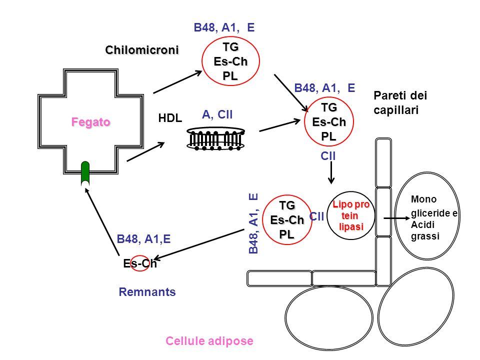 Fegato TGEs-ChPL Chilomicroni B48, A1, E Pareti dei capillari HDL A, CII TGEs-ChPL B48, A1, E CII Lipo pro teinlipasi TGEs-ChPL B48, A1, E CII Cellule
