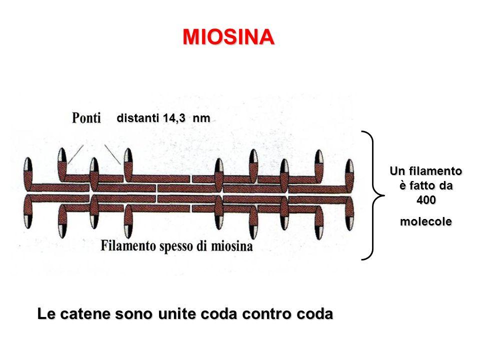 Un filamento è fatto da 400 molecole Le catene sono unite coda contro coda MIOSINA distanti 14,3 nm