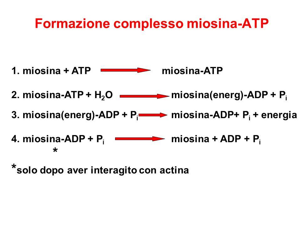 1.miosina + ATP miosina-ATP 2.miosina-ATP + H 2 O miosina(energ)-ADP + P i 3.miosina(energ)-ADP + P i miosina-ADP+ P i + energia 4.miosina-ADP + P i m