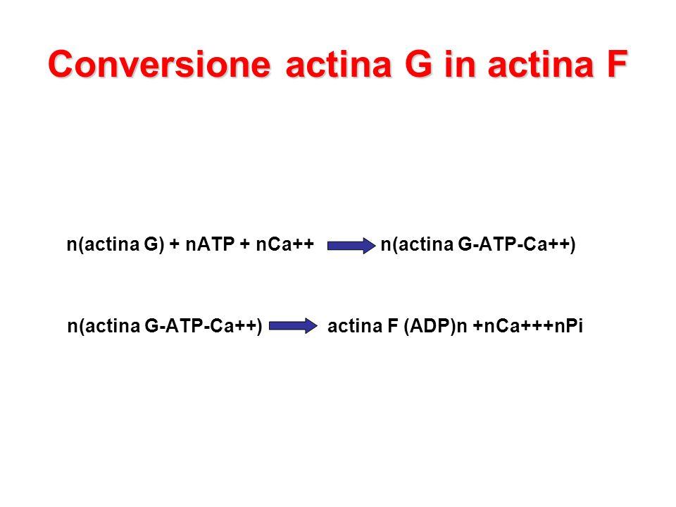 Conversione actina G in actina F n(actina G) + nATP + nCa++ n(actina G-ATP-Ca++) n(actina G-ATP-Ca++) actina F (ADP)n +nCa+++nPi