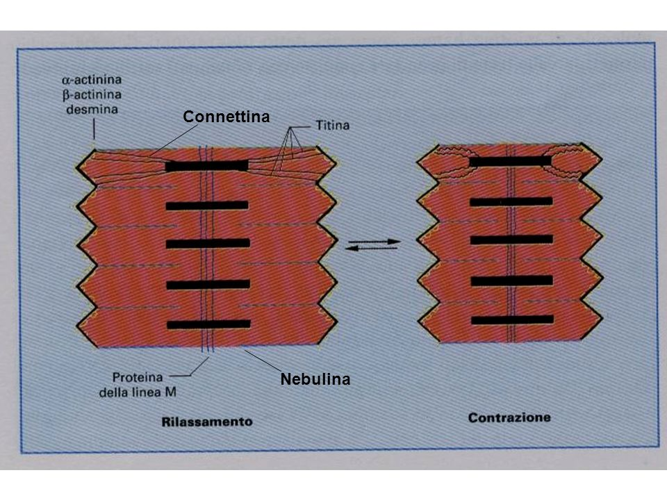 Nebulina Connettina