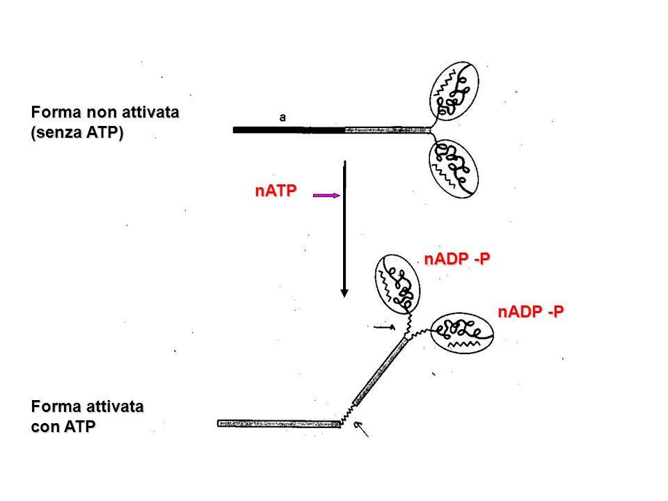 nATP nADP -P Forma non attivata (senza ATP) Forma attivata con ATP