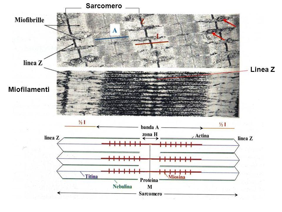 Miofilamenti Linea Z Sarcomero
