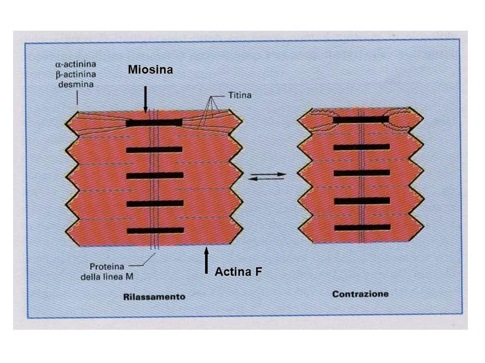 Miosina Actina F