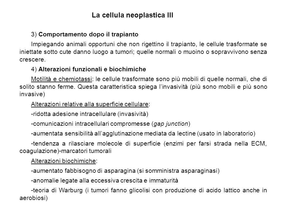 3) Comportamento dopo il trapianto Impiegando animali opportuni che non rigettino il trapianto, le cellule trasformate se iniettate sotto cute danno l
