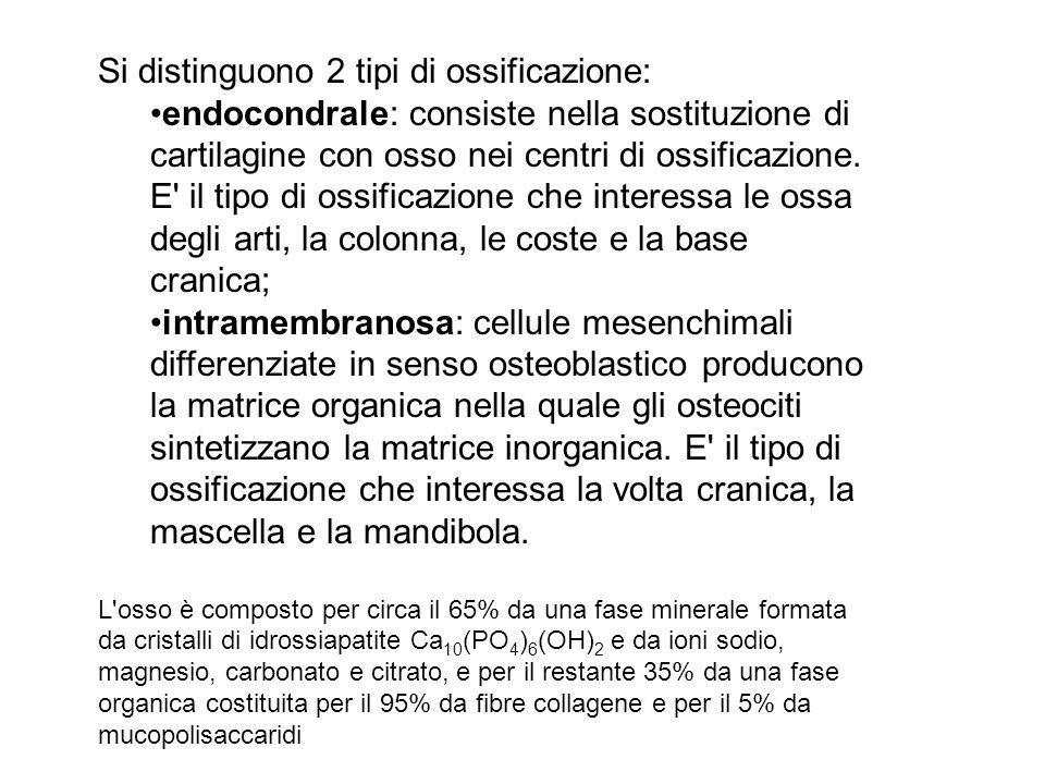 Si distinguono 2 tipi di ossificazione: endocondrale: consiste nella sostituzione di cartilagine con osso nei centri di ossificazione.