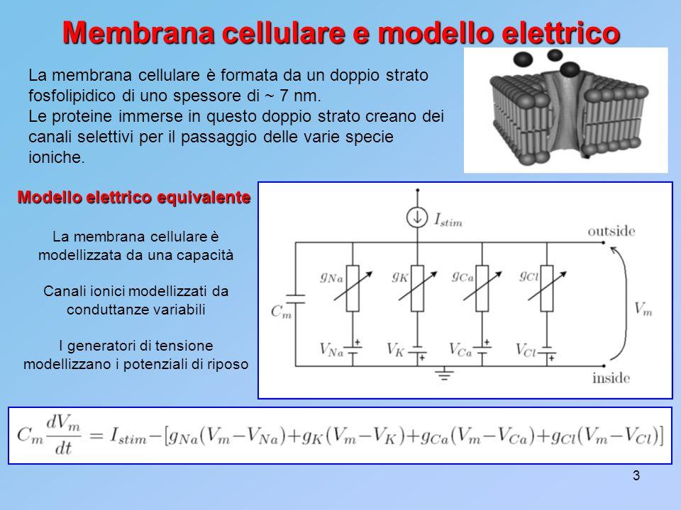 3 Membrana cellulare e modello elettrico La membrana cellulare è formata da un doppio strato fosfolipidico di uno spessore di ~ 7 nm. Le proteine imme