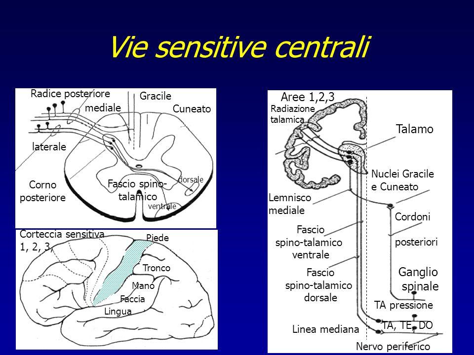 Fascio spino- talamico Gracile Cuneato Corno posteriore Radice posteriore ventrale dorsale laterale mediale Mano Tronco Piede Faccia Lingua Corteccia