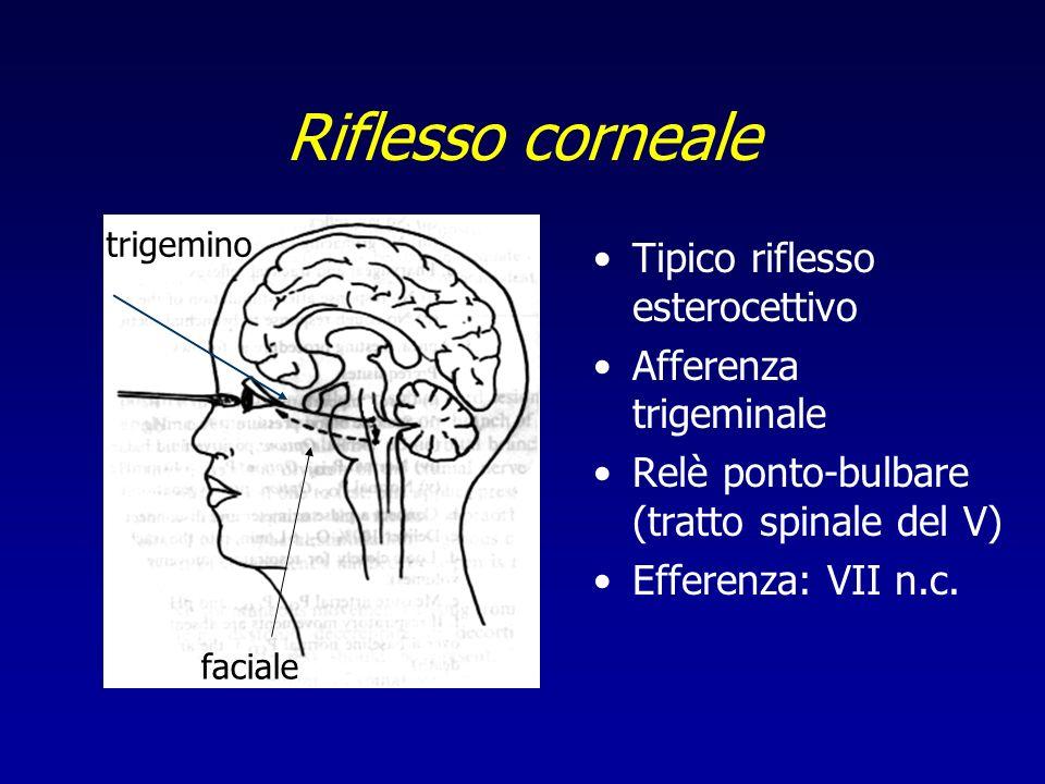 Riflesso corneale Tipico riflesso esterocettivo Afferenza trigeminale Relè ponto-bulbare (tratto spinale del V) Efferenza: VII n.c. trigemino faciale