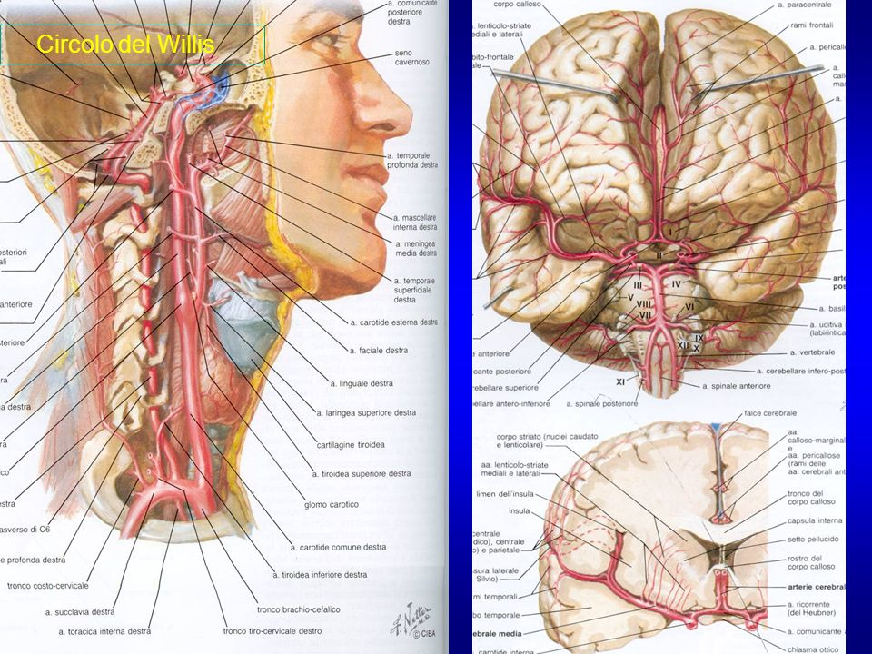 Arterie del circolo vertebrobasilare o posteriore