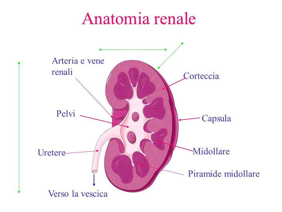 Anatomia renale Corteccia Midollare Pelvi Verso la vescica Capsula Uretere Arteria e vene renali Piramide midollare 11cm 6 cm 3cm