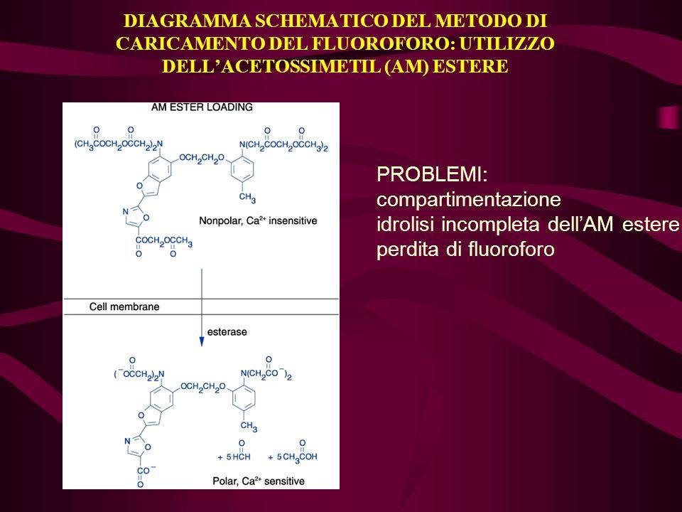 DIAGRAMMA SCHEMATICO DEL METODO DI CARICAMENTO DEL FLUOROFORO: UTILIZZO DELLACETOSSIMETIL (AM) ESTERE PROBLEMI: compartimentazione idrolisi incompleta