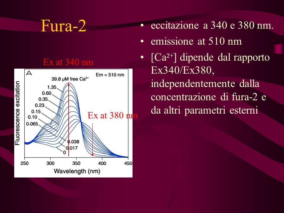 Fura-2 eccitazione a 340 e 380 nm. emissione at 510 nm [Ca 2+ ] dipende dal rapporto Ex340/Ex380, independentemente dalla concentrazione di fura-2 e d