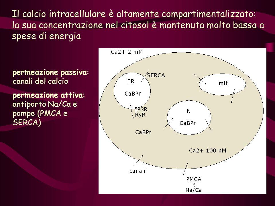 Il calcio intracellulare è altamente compartimentalizzato: la sua concentrazione nel citosol è mantenuta molto bassa a spese di energia permeazione pa