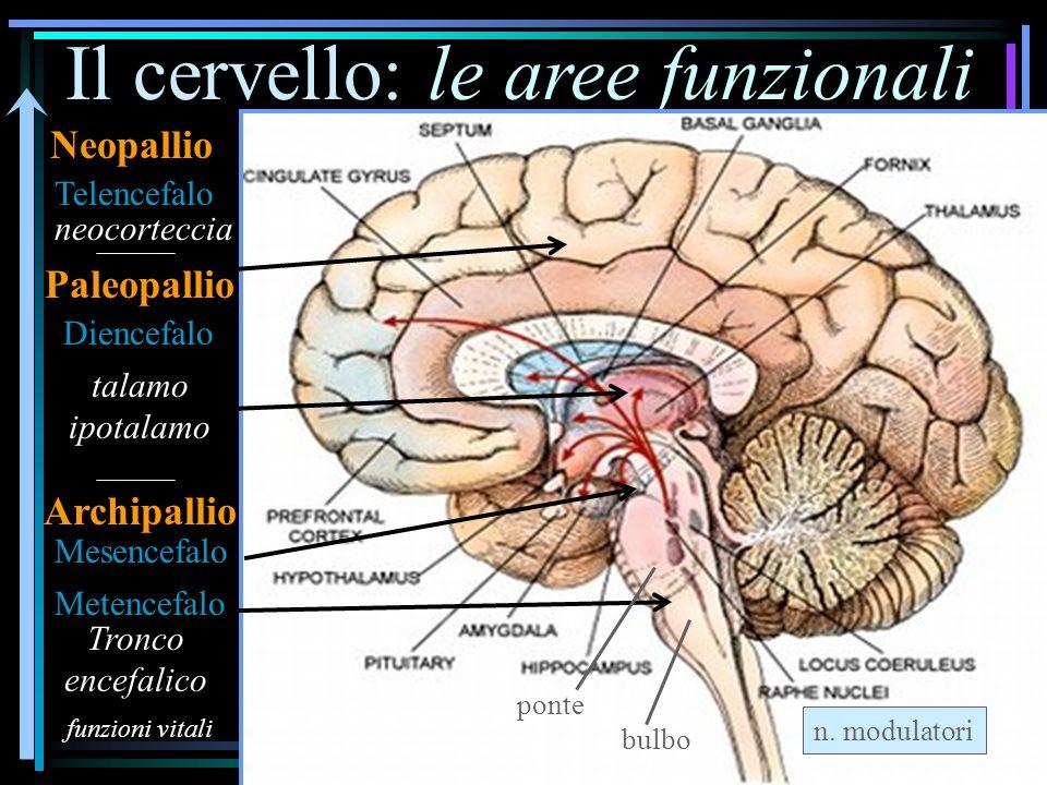 Il cervello: le aree funzionali Metencefalo Mesencefalo Diencefalo neocorteccia talamo ipotalamo Telencefalo funzioni vitali Tronco encefalico Neopallio Paleopallio Archipallio n.