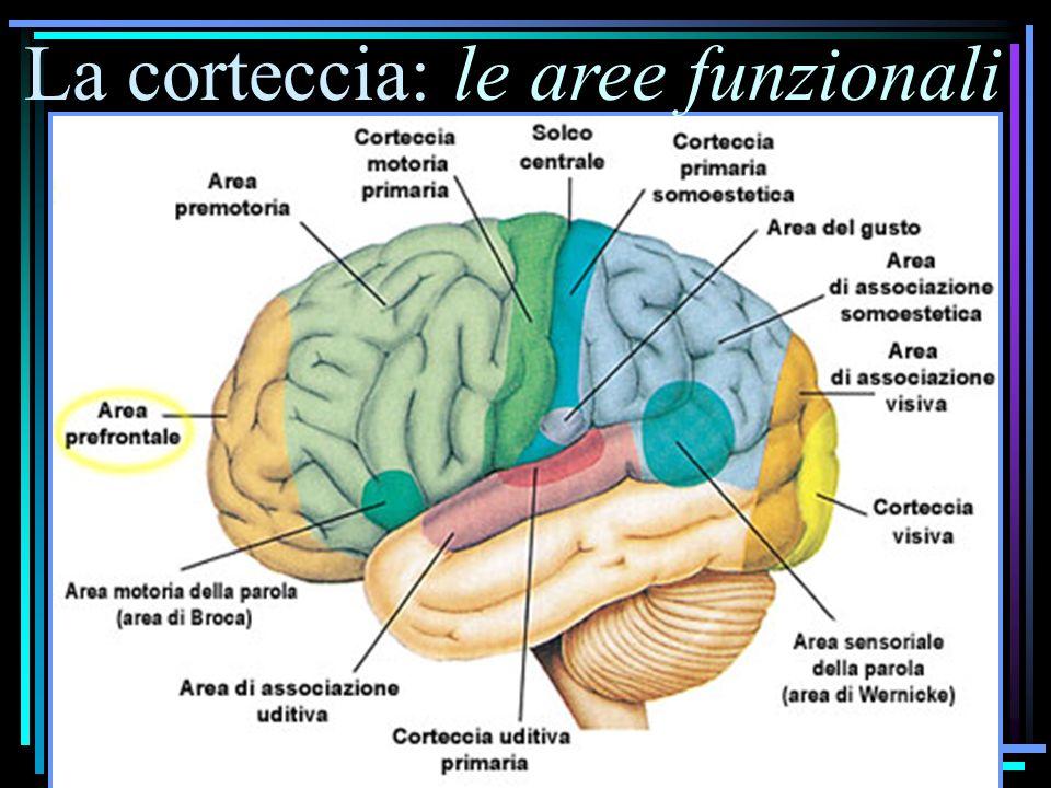 La corteccia: le aree funzionali