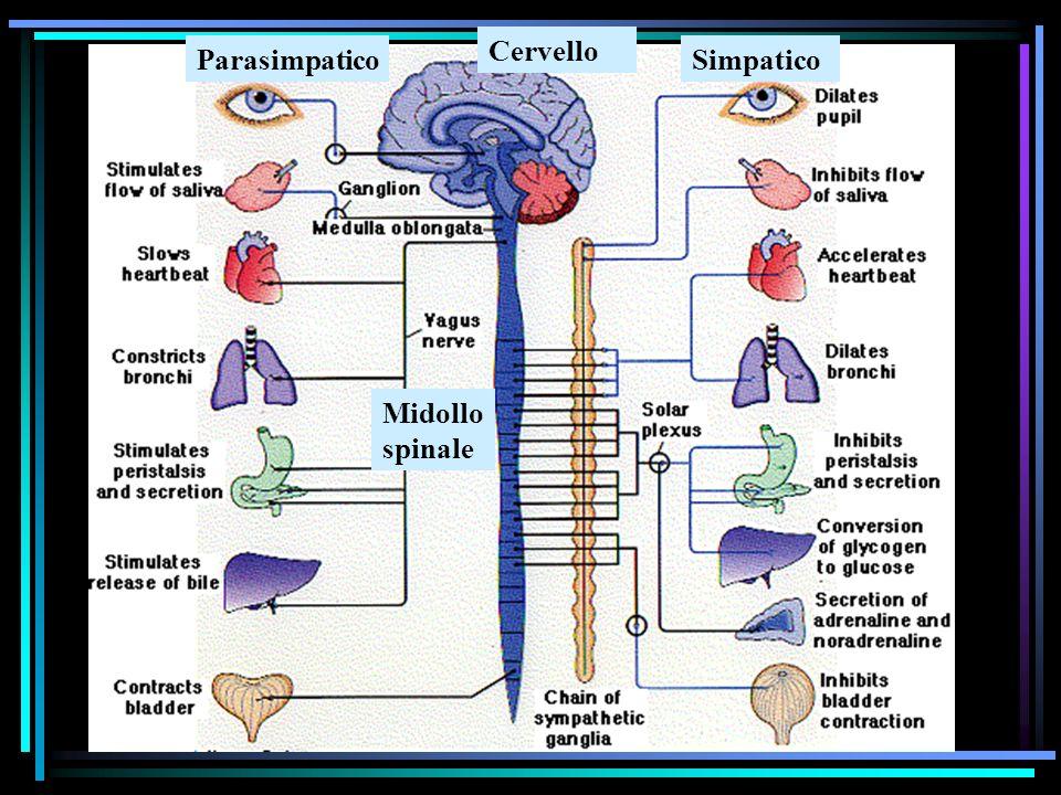 ParasimpaticoSimpatico Cervello Midollo spinale