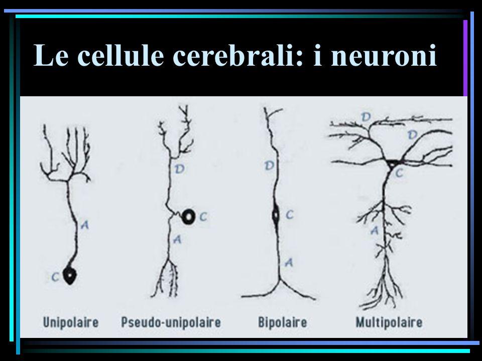 Emozioni = sottocorticali Cognizione = corticale
