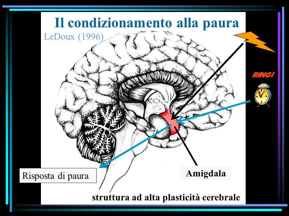 Il condizionamento alla paura LeDoux (1996) Risposta di paura Amigdala struttura ad alta plasticità cerebrale