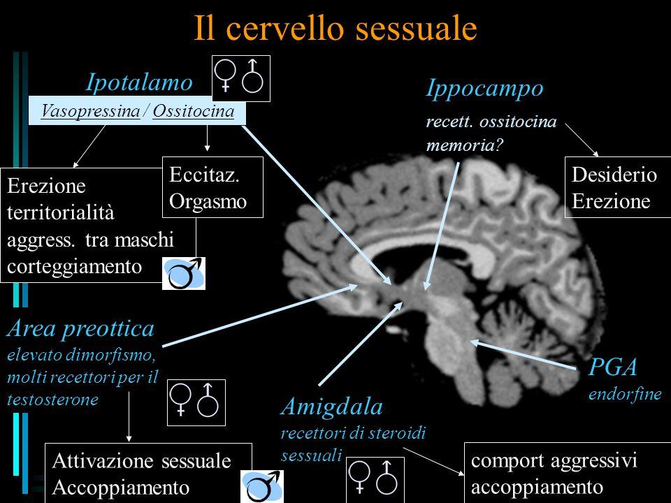 Il cervello sessuale Area preottica elevato dimorfismo, molti recettori per il testosterone Attivazione sessuale Accoppiamento Amigdala recettori di steroidi sessuali comport aggressivi accoppiamento Ipotalamo PGA endorfine Ippocampo recett.