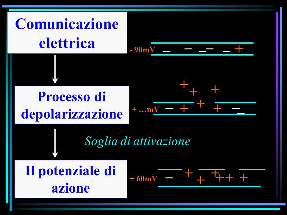 Comunicazione elettrica Il potenziale di azione Processo di depolarizzazione _ + + + ++ + _ _ _ _ _ _ _ + _ +++ + + + - 90mV + 60mV + …mV Soglia di attivazione