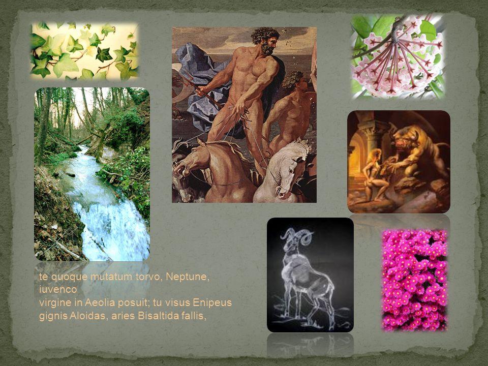 te quoque mutatum torvo, Neptune, iuvenco virgine in Aeolia posuit; tu visus Enipeus gignis Aloidas, aries Bisaltida fallis,
