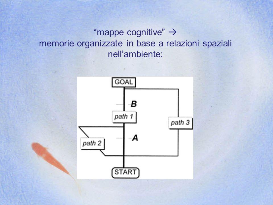 mappe cognitive memorie organizzate in base a relazioni spaziali nellambiente: